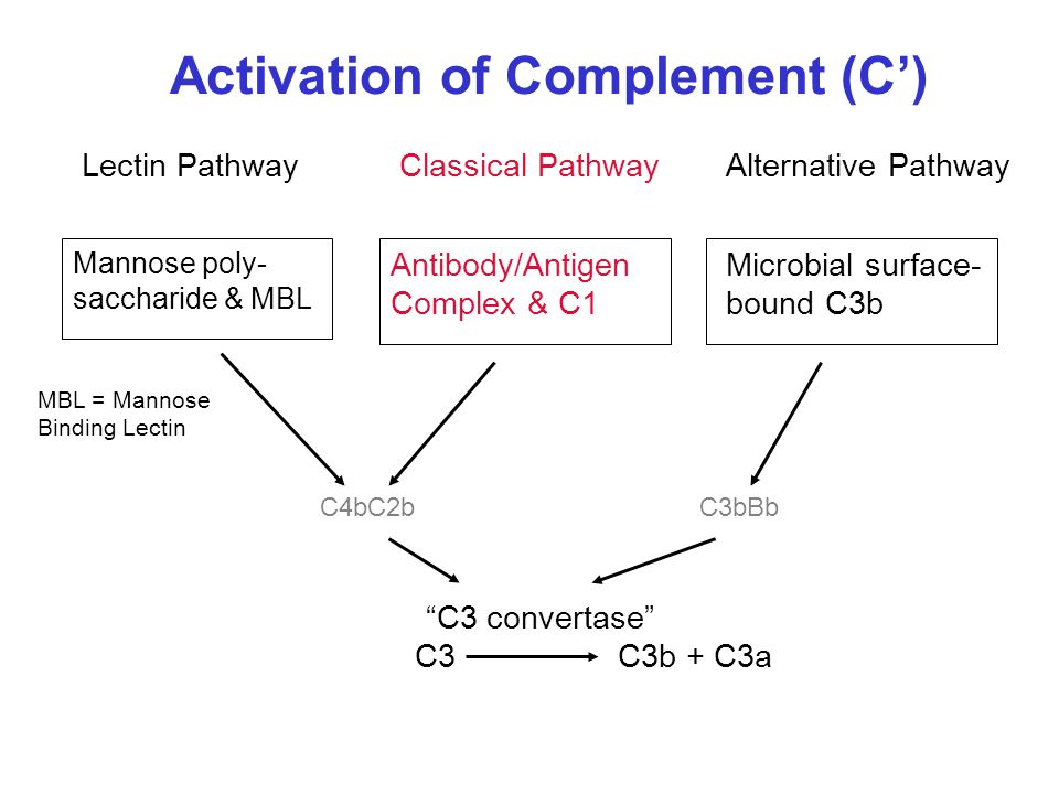 Activation of Complement (C') Lectin PathwayClassical PathwayAlternative Pathway Mannose poly- saccharide & MBL Antibody/Antigen Complex & C1 Microbial surface- bound C3b C4bC2b C3C3b + C3a C3bBb C3 convertase MBL = Mannose Binding Lectin