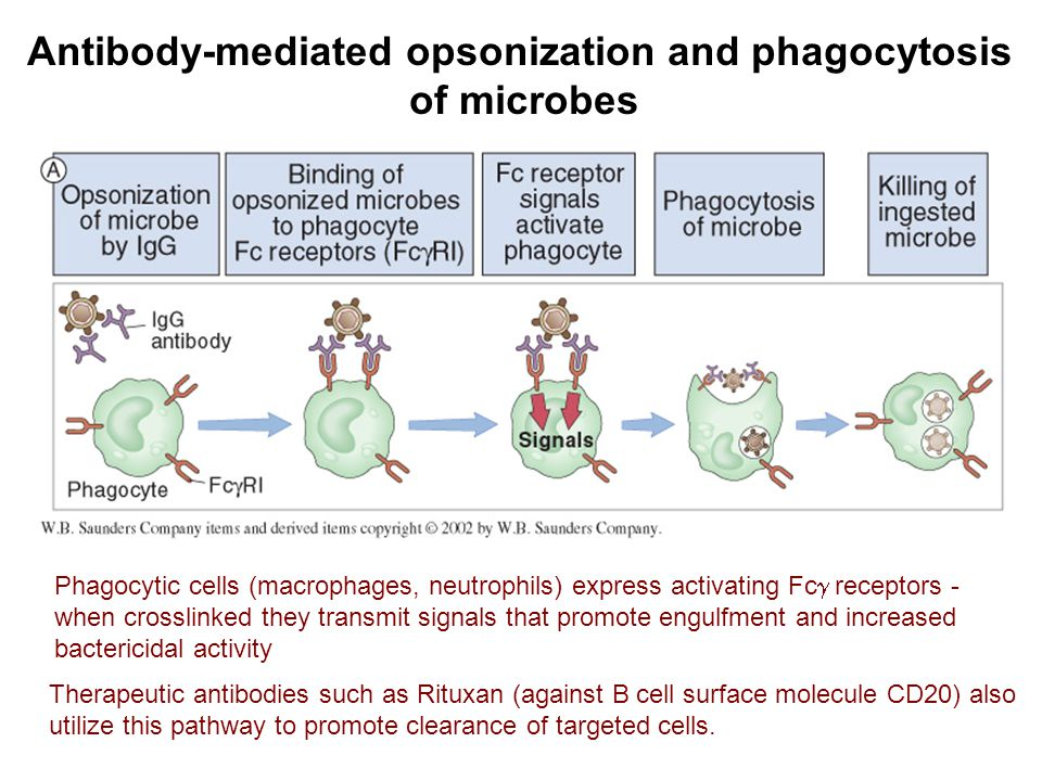 Antibody-mediated opsonization and phagocytosis of microbes Therapeutic antibodies such as Rituxan (against B cell surface molecule CD20) also utilize this pathway to promote clearance of targeted cells.