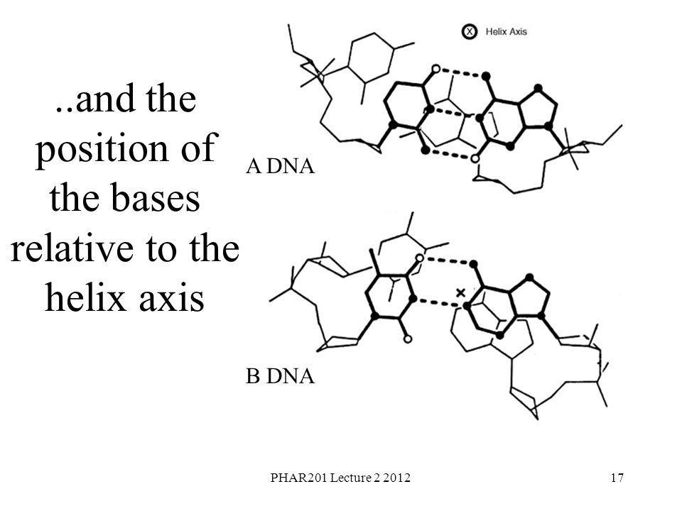 PHAR201 Lecture 2 201217 A DNA B DNA..and the position of the bases relative to the helix axis