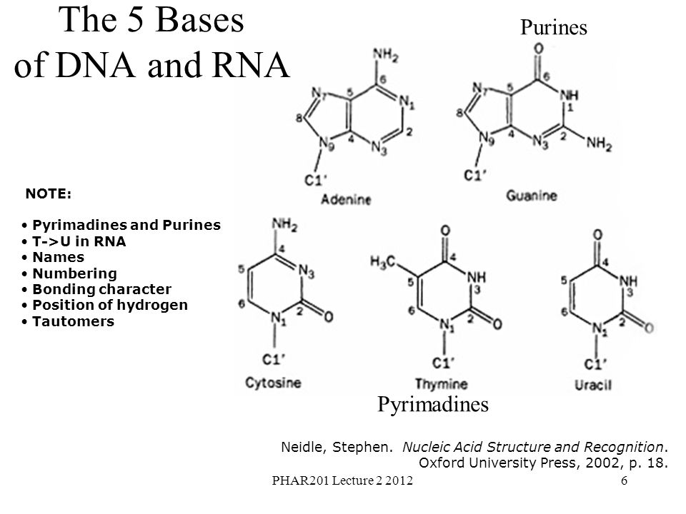PHAR201 Lecture 2 20126 NOTE: Pyrimadines and Purines T->U in RNA Names Numbering Bonding character Position of hydrogen Tautomers Neidle, Stephen.