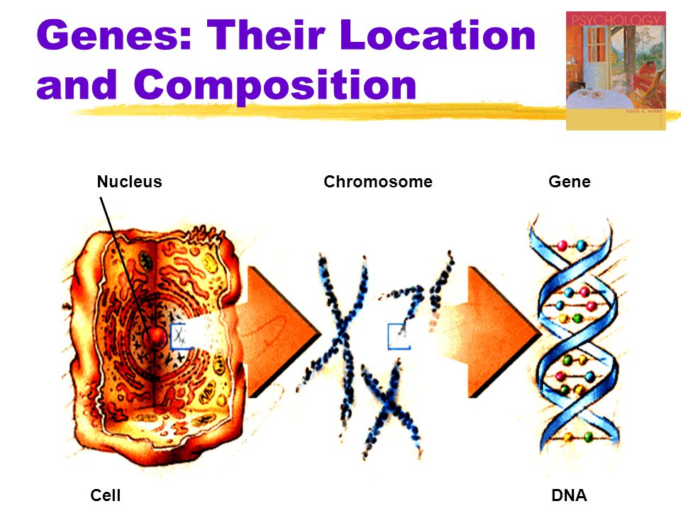 Genes: Their Location and Composition NucleusChromosomeGene CellDNA