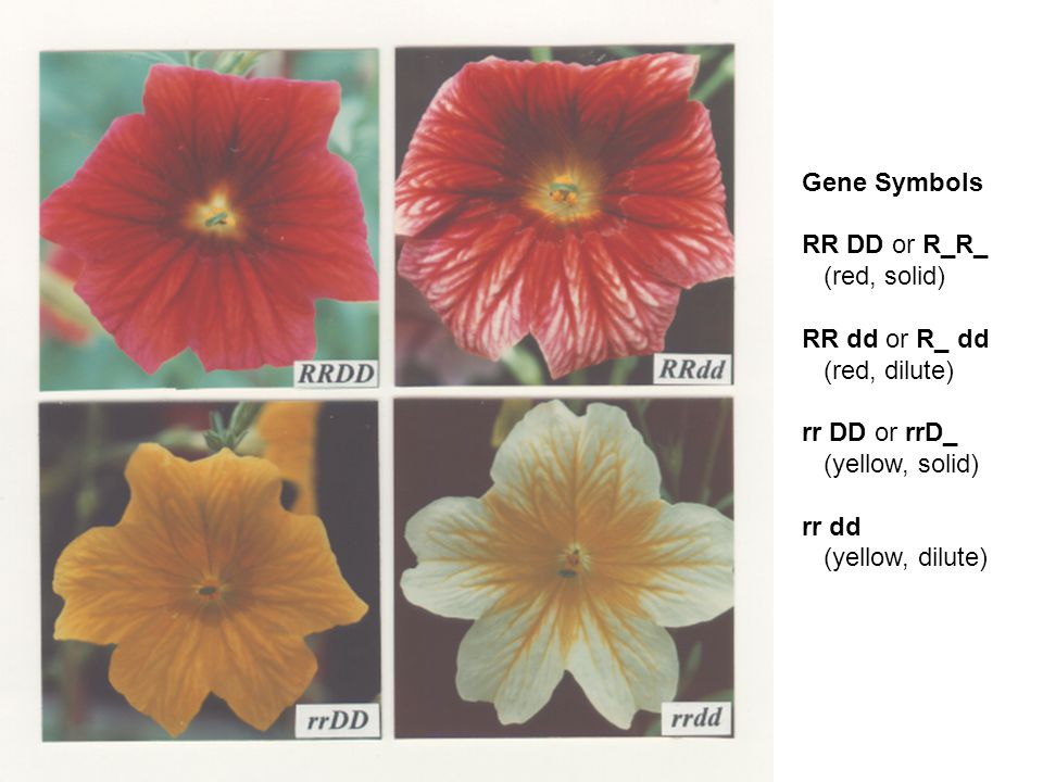 Gene Symbols RR DD or R_R_ (red, solid) RR dd or R_ dd (red, dilute) rr DD or rrD_ (yellow, solid) rr dd (yellow, dilute)