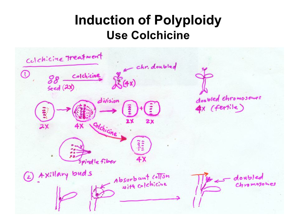 Induction of Polyploidy Use Colchicine