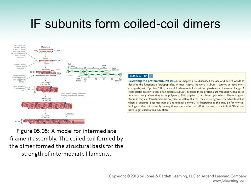 IF subunits form coiled-coil dimers Figure 05.05: A model for intermediate filament assembly. The coiled coil formed by the dimer formed the structura