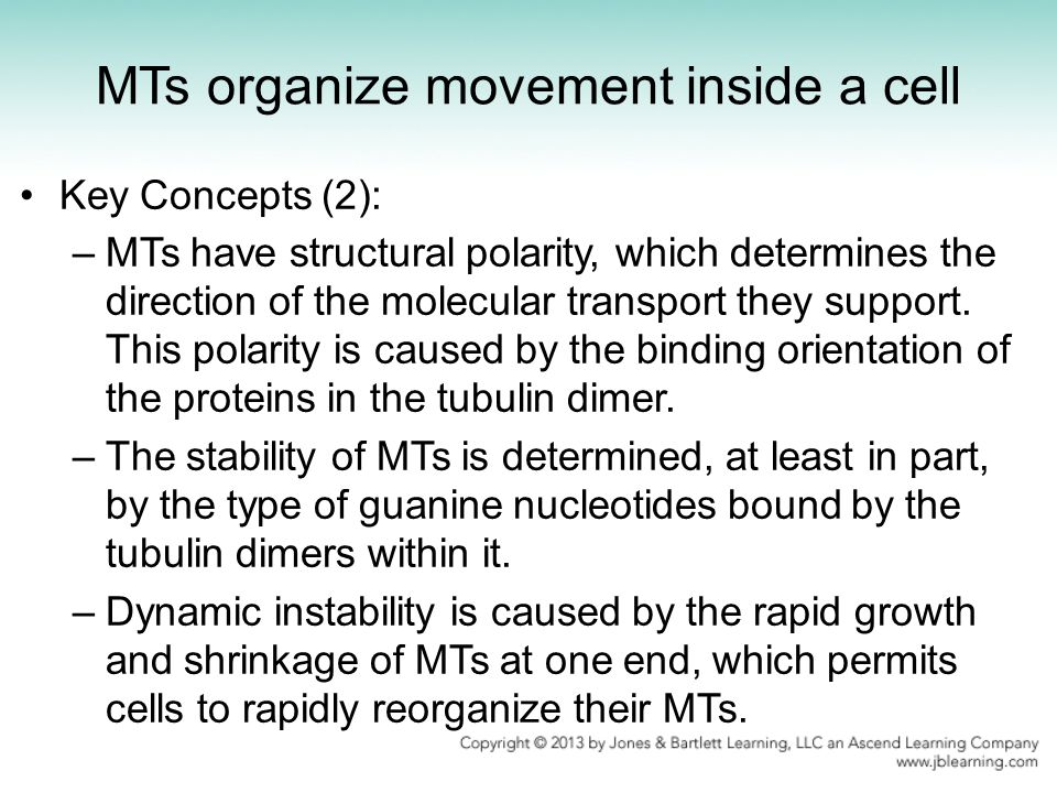 MTs organize movement inside a cell Key Concepts (2): –MTs have structural polarity, which determines the direction of the molecular transport they su