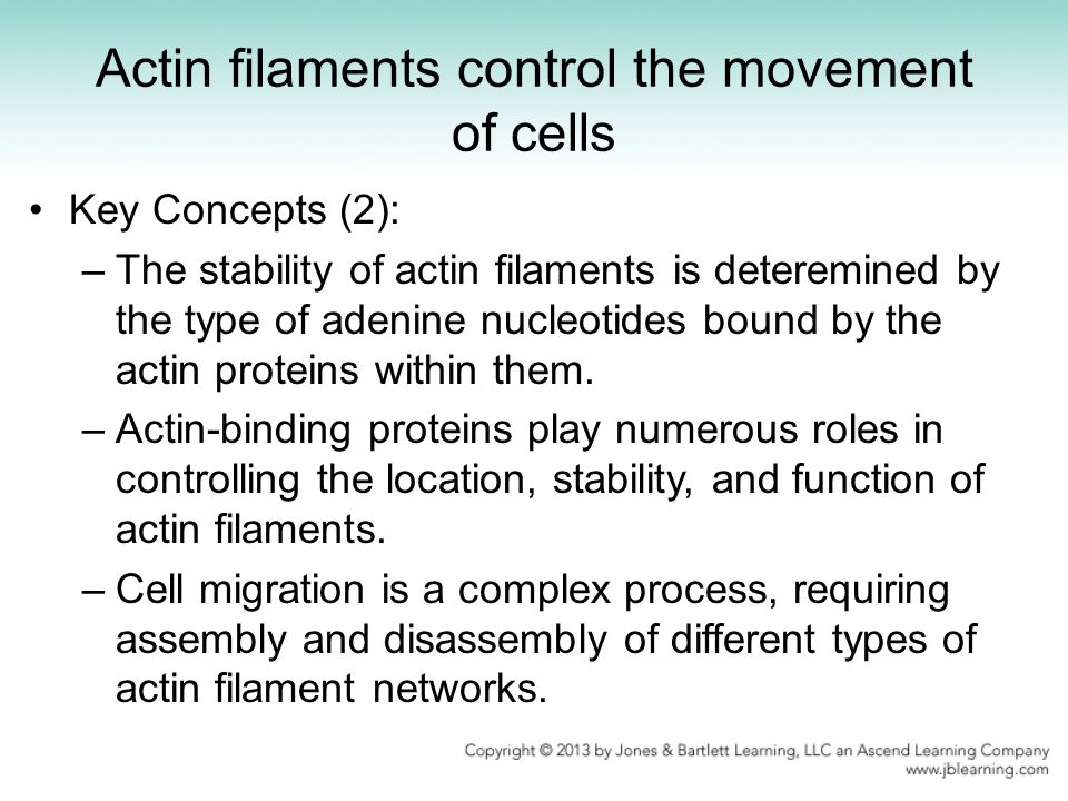 Key Concepts (2): –The stability of actin filaments is deteremined by the type of adenine nucleotides bound by the actin proteins within them. –Actin-