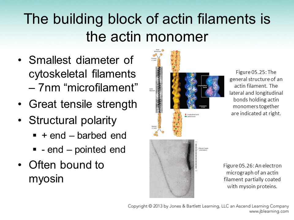 """The building block of actin filaments is the actin monomer Smallest diameter of cytoskeletal filaments – 7nm """"microfilament"""" Great tensile strength St"""