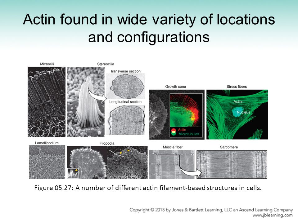 Actin found in wide variety of locations and configurations Figure 05.27: A number of different actin filament-based structures in cells.