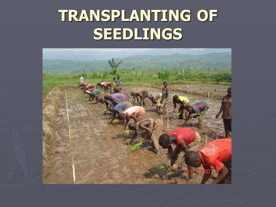 TRANSPLANTING OF SEEDLINGS