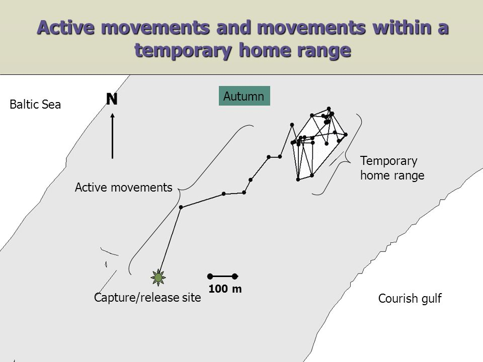Active movements and movements within a temporary home range 100 m Capture/release site Baltic Sea Courish gulf N Autumn Active movements Temporary home range