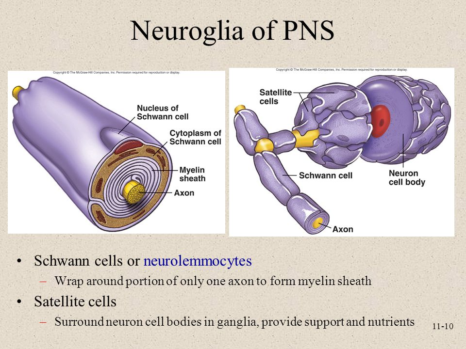 11-10 Neuroglia of PNS Schwann cells or neurolemmocytes –Wrap around portion of only one axon to form myelin sheath Satellite cells –Surround neuron c