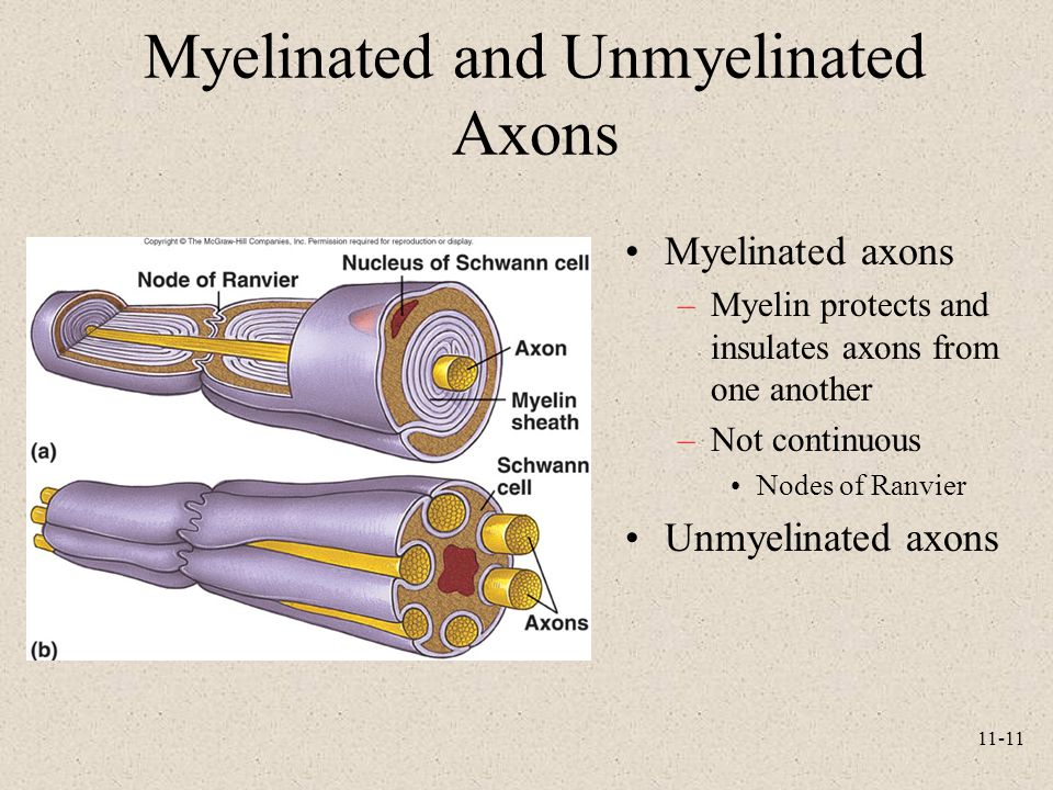11-11 Myelinated and Unmyelinated Axons Myelinated axons –Myelin protects and insulates axons from one another –Not continuous Nodes of Ranvier Unmyel