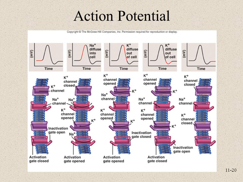 11-20 Action Potential