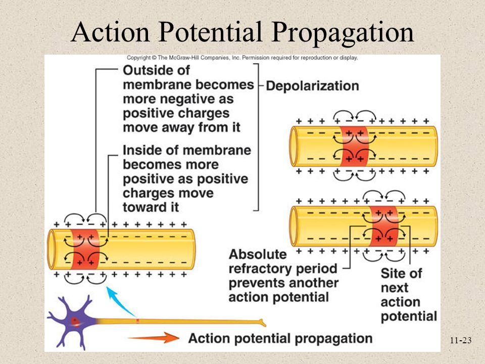 11-23 Action Potential Propagation