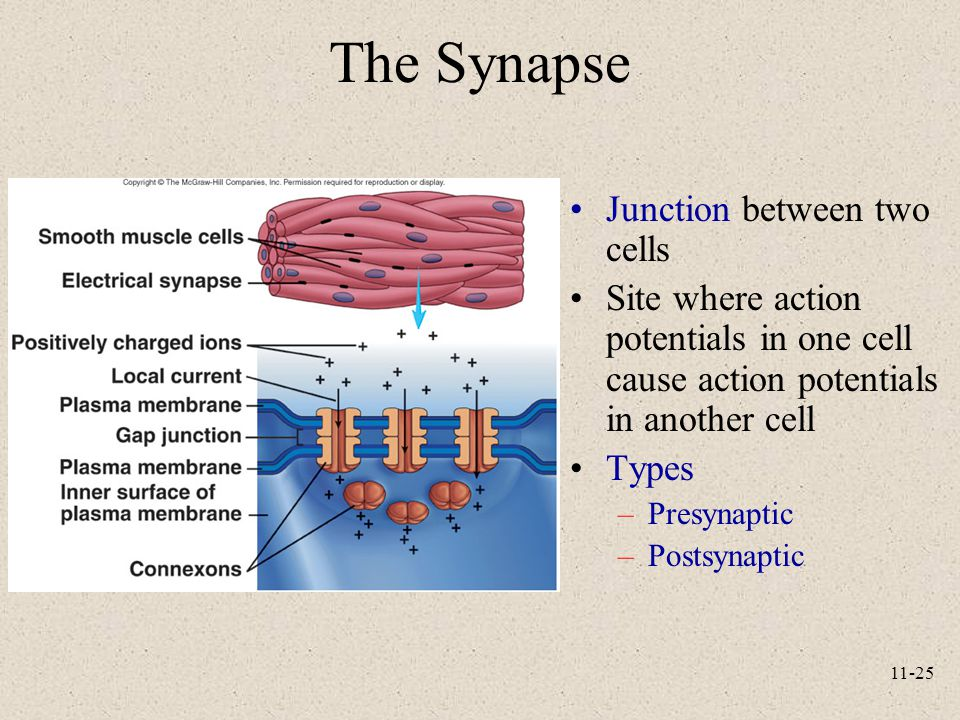 11-25 The Synapse Junction between two cells Site where action potentials in one cell cause action potentials in another cell Types –Presynaptic –Post