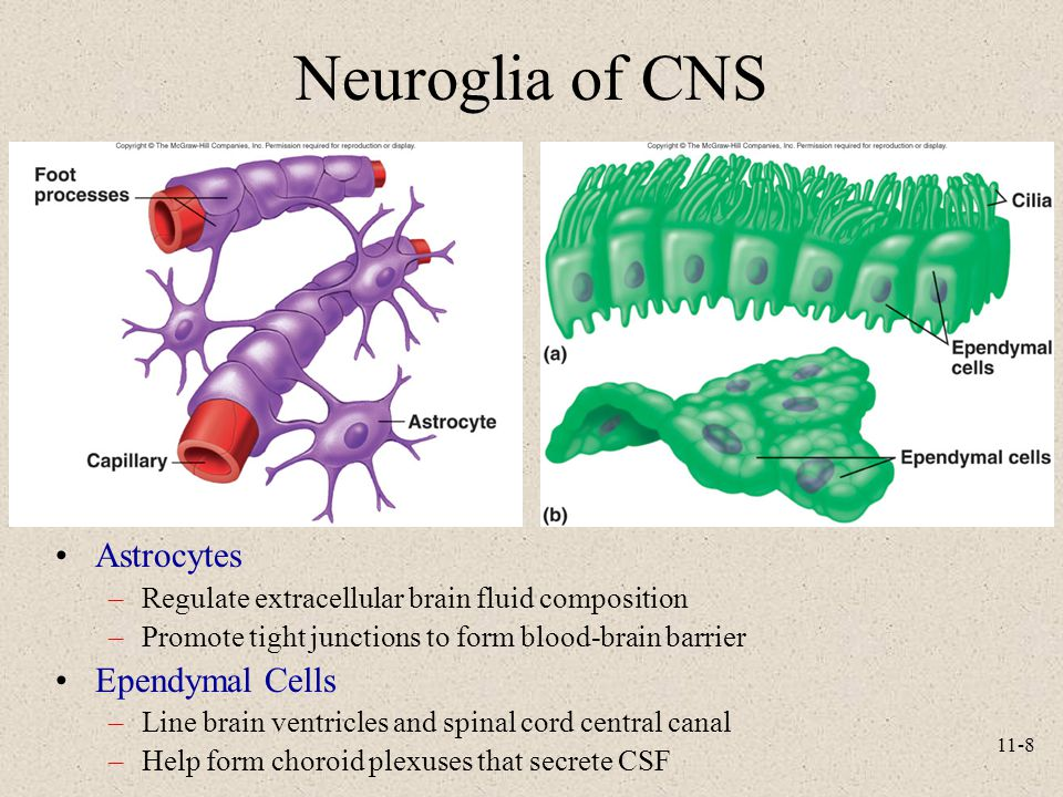 11-8 Neuroglia of CNS Astrocytes –Regulate extracellular brain fluid composition –Promote tight junctions to form blood-brain barrier Ependymal Cells