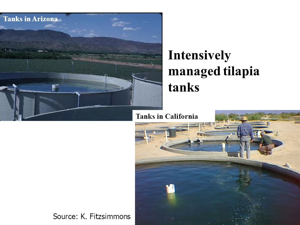 Intensively managed tilapia tanks Tanks in Arizona Tanks in California Source: K. Fitzsimmons