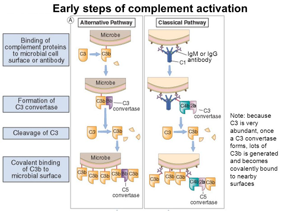 IgM or IgG antibody Early steps of complement activation b b Note: because C3 is very abundant, once a C3 convertase forms, lots of C3b is generated a