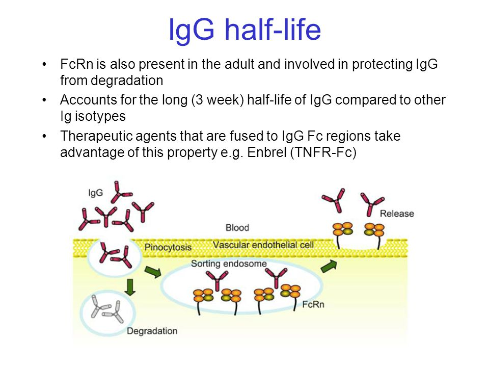 IgG half-life FcRn is also present in the adult and involved in protecting IgG from degradation Accounts for the long (3 week) half-life of IgG compar