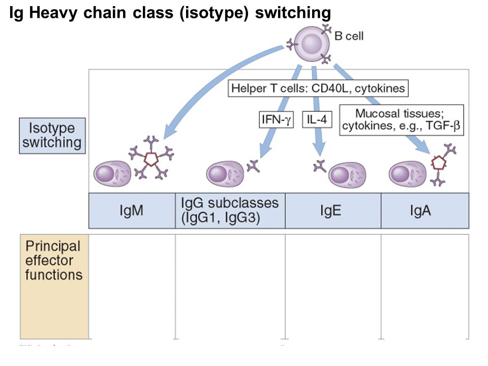 Ig Heavy chain class (isotype) switching Neutralization Eosinophil and