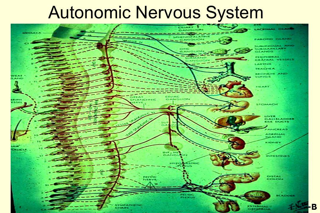Autonomic Nervous System 49-B