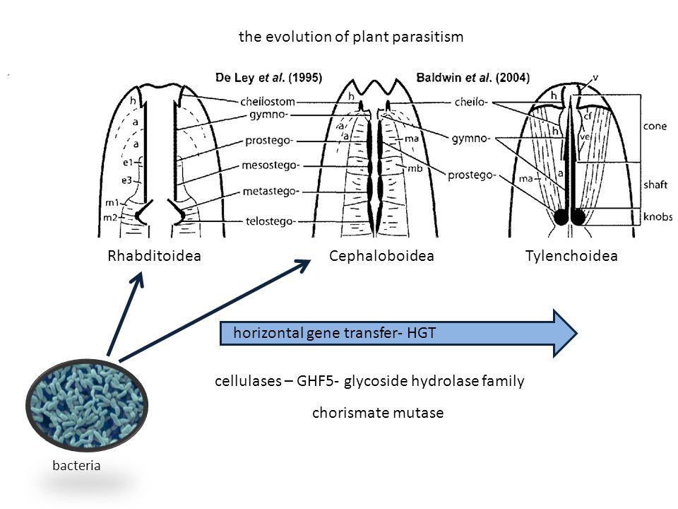 horizontal gene transfer- HGT cellulases – GHF5- glycoside hydrolase family chorismate mutase the evolution of plant parasitism RhabditoideaCephaloboi