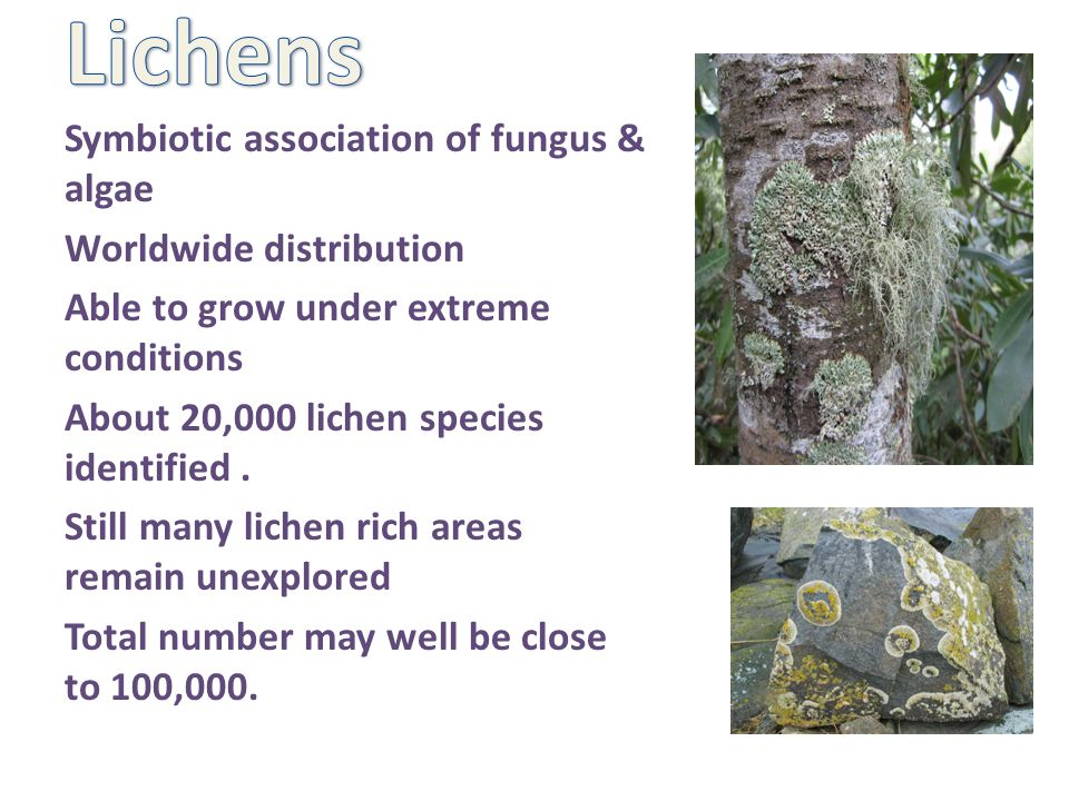 Symbiotic association of fungus & algae Worldwide distribution Able to grow under extreme conditions About 20,000 lichen species identified.