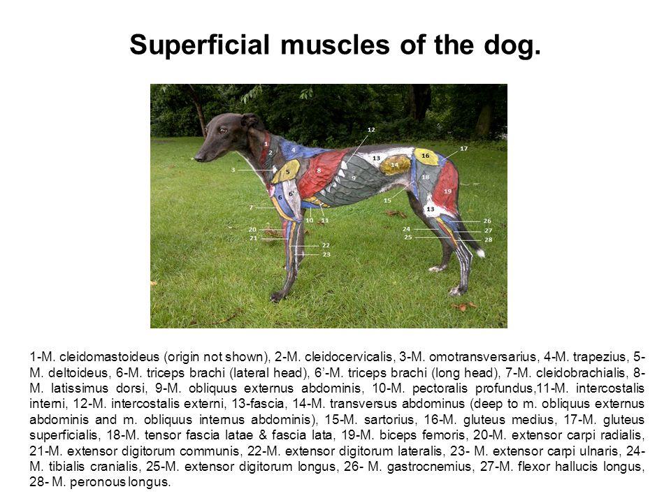 Superficial muscles of the dog. 1-M. cleidomastoideus (origin not shown), 2-M. cleidocervicalis, 3-M. omotransversarius, 4-M. trapezius, 5- M. deltoid
