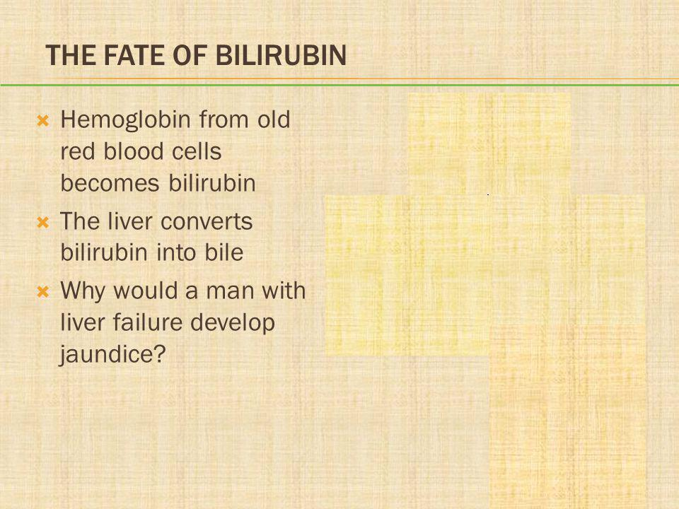 THE FATE OF BILIRUBIN  Hemoglobin from old red blood cells becomes bilirubin  The liver converts bilirubin into bile  Why would a man with liver fa