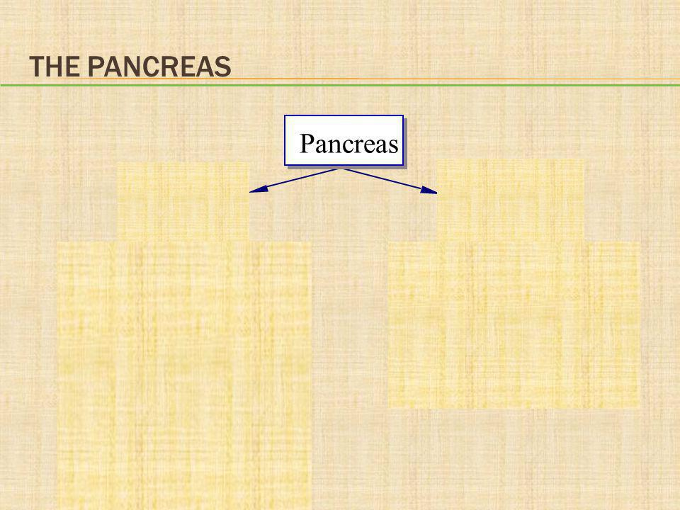 THE PANCREAS Pancreas Exocrine pancreas releases digestive juices through a duct to the duodenum Endocrine pancreas releases hormones into the blood