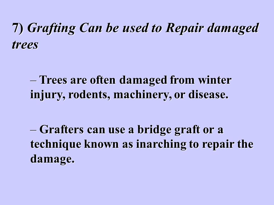7) Grafting Can be used to Repair damaged trees – Trees are often damaged from winter injury, rodents, machinery, or disease. – Grafters can use a bri