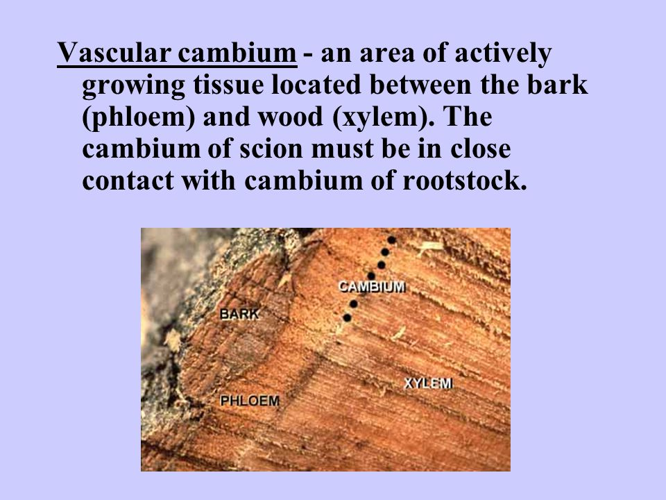 Vascular cambium - an area of actively growing tissue located between the bark (phloem) and wood (xylem). The cambium of scion must be in close contac