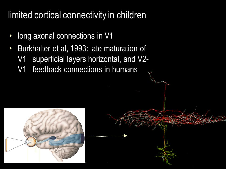 long axonal connections in V1,Burkhalter et al, 1993: late maturation of V1 superficial layers horizontal, and V2- V1 feedback connections in humans limited cortical connectivity in children