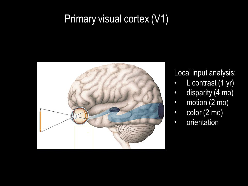 Primary visual cortex (V1) Local input analysis: L contrast (1 yr) disparity (4 mo) motion (2 mo) color (2 mo) orientation