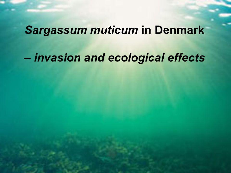 Sargassum muticum in Denmark – invasion and ecological effects