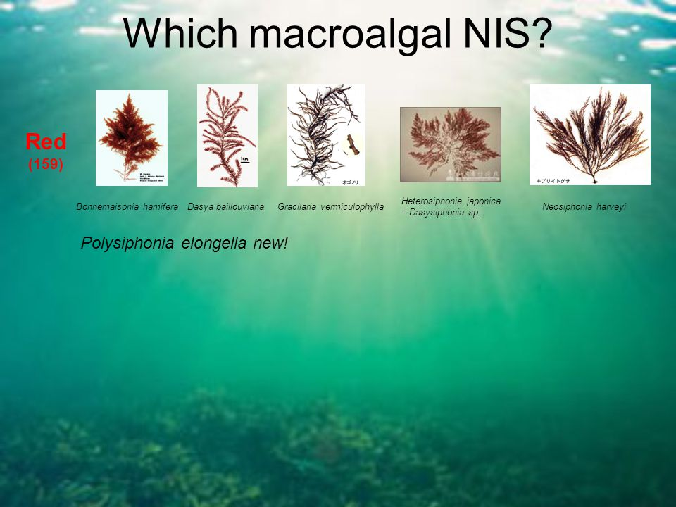 Which macroalgal NIS? Red (159) Bonnemaisonia hamiferaDasya baillouvianaGracilaria vermiculophylla Heterosiphonia japonica = Dasysiphonia sp. Neosipho
