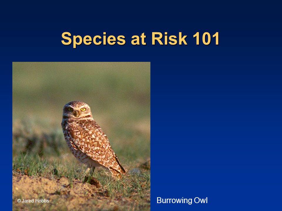 Species at Risk 101 © Jared Hobbs Burrowing Owl