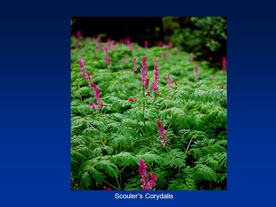 Scouler's Corydalis
