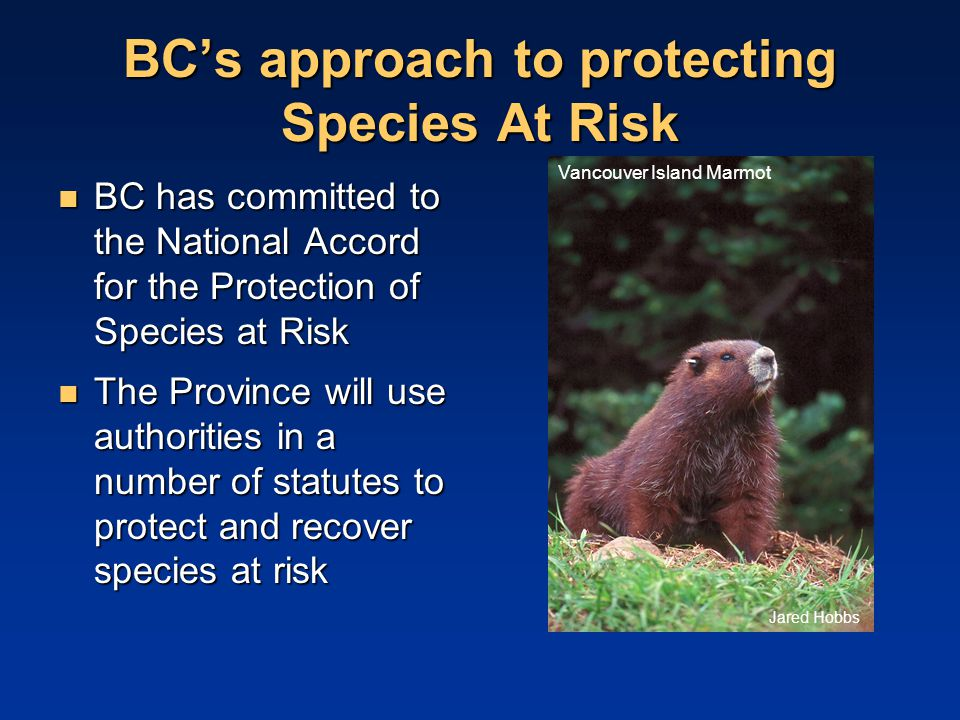 BC's approach to protecting Species At Risk BC has committed to the National Accord for the Protection of Species at Risk BC has committed to the National Accord for the Protection of Species at Risk The Province will use authorities in a number of statutes to protect and recover species at risk The Province will use authorities in a number of statutes to protect and recover species at risk Jared Hobbs Vancouver Island Marmot