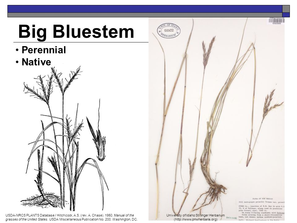 Big Bluestem Perennial Native USDA-NRCS PLANTS Database / Hitchcock, A.S. (rev. A. Chase). 1950. Manual of the grasses of the United States. USDA Misc