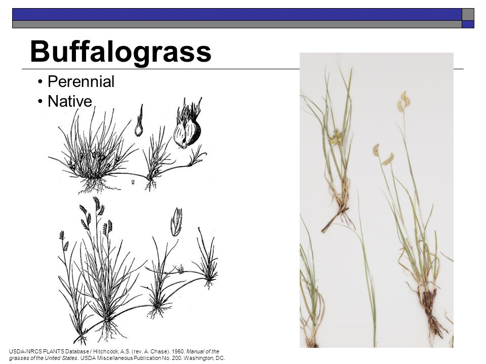 Buffalograss Perennial Native Mike Haddock USDA-NRCS PLANTS Database / Hitchcock, A.S. (rev. A. Chase). 1950. Manual of the grasses of the United Stat