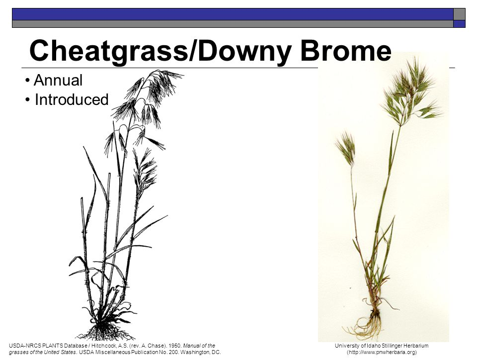 Cheatgrass/Downy Brome Annual Introduced University of Idaho Stillinger Herbarium (http://www.pnwherbaria.org) USDA-NRCS PLANTS Database / Hitchcock,