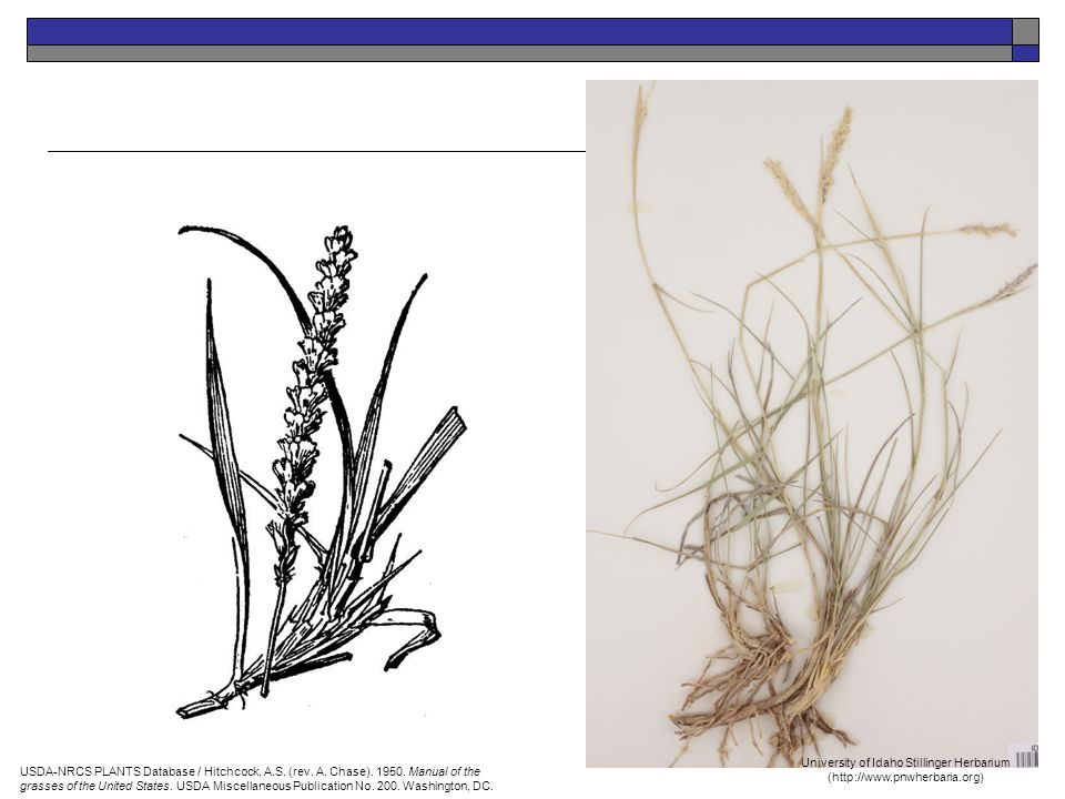 USDA-NRCS PLANTS Database / Hitchcock, A.S. (rev. A. Chase). 1950. Manual of the grasses of the United States. USDA Miscellaneous Publication No. 200.