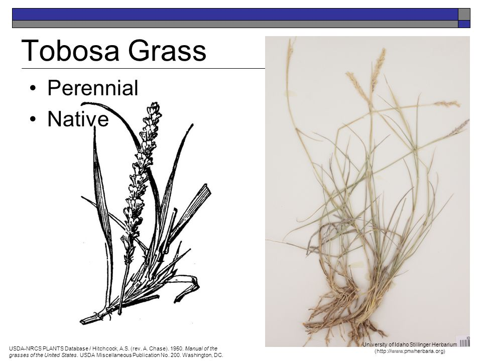 Tobosa Grass Perennial Native USDA-NRCS PLANTS Database / Hitchcock, A.S.