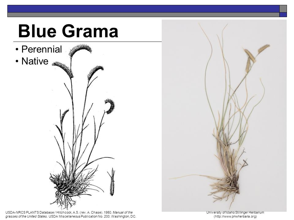 Blue Grama Perennial Native USDA-NRCS PLANTS Database / Hitchcock, A.S. (rev. A. Chase). 1950. Manual of the grasses of the United States. USDA Miscel