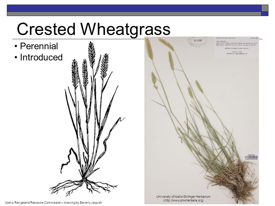 Perennial Introduced Crested Wheatgrass Idaho Rangeland Resource Commission – drawing by Beverly Jaquish University of Idaho Stillinger Herbarium (http://www.pnwherbaria.org)