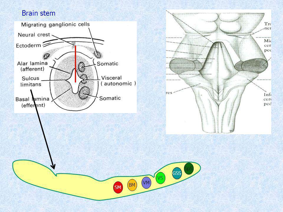SM VM VS BM SS Brain stem SpS GSS