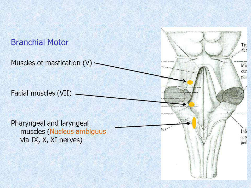 Branchial Motor Muscles of mastication (V) Facial muscles (VII) Pharyngeal and laryngeal muscles (Nucleus ambiguus via IX, X, XI nerves)