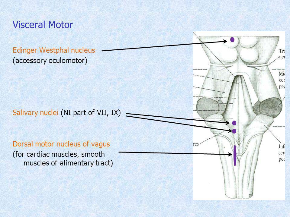 Visceral Motor Edinger Westphal nucleus (accessory oculomotor) Salivary nuclei (NI part of VII, IX) Dorsal motor nucleus of vagus (for cardiac muscles
