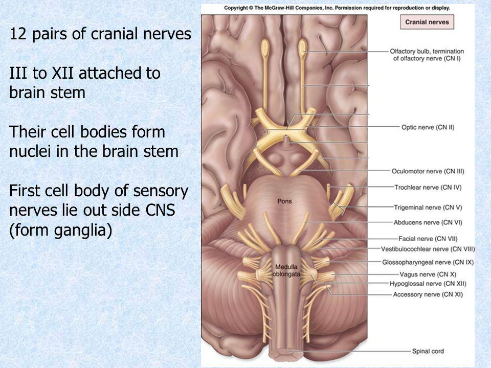 Summary of cranial nerves Aspects to study 1.Position of nucleus 2.Emerging point from brain stem 3.Intracranial course 4.Point of exit from the cranial cavity 5.Extracranial course 6.Distribution